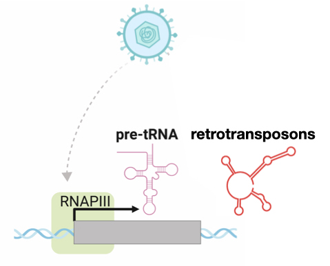 Cartoon showing how viral infection activates Pol III transcription of tRNA and retrotransposon genes